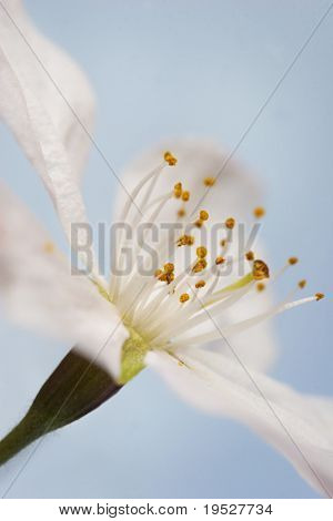 macro of white cherry blossom - focus on pollen - narrow depth of field