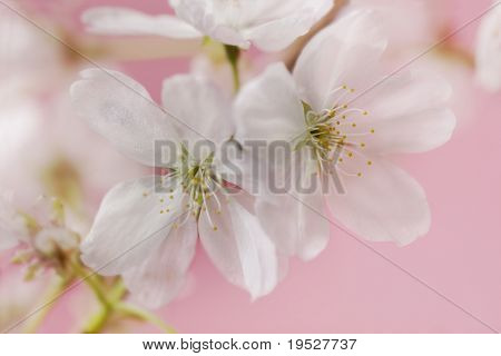 two white cherry blossoms on pink background - very narrow depth of field - great bokeh