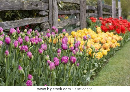 tulips - pink, yellow, red - by old fence in garden