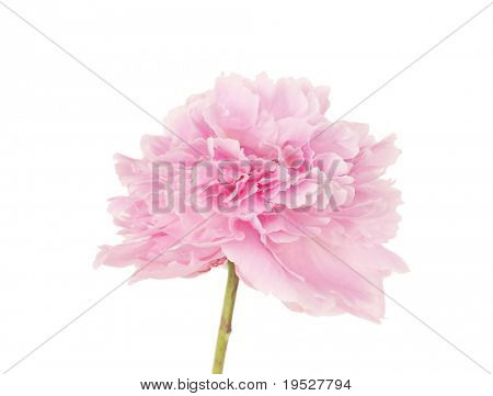 single pink peony flower isolated on white background