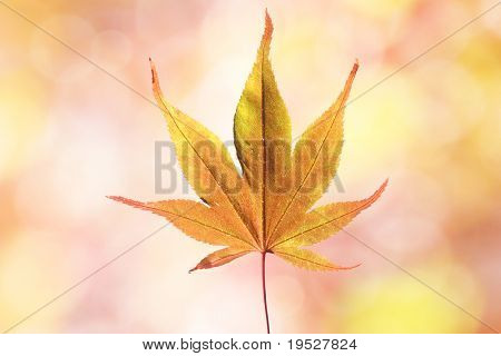 japanese maple leaf on red and yellow fall background