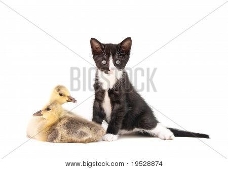 Kitten & Goslings