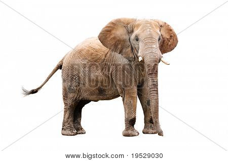 adult elephant isolated on white with clipping path