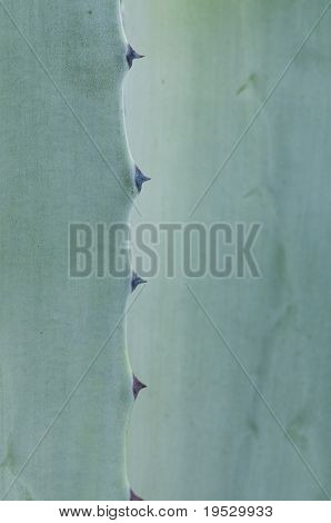 agave cactus close-up abstract background