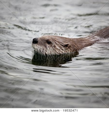 European Otter (Lutra lutra), also known as Eurasian otter, Eurasian river otter, common otter and Old World otter