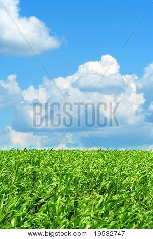Blue sky and green field corn. Background