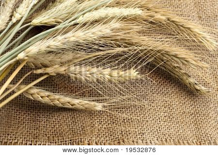 Bundle of the gold wheat ears on sack