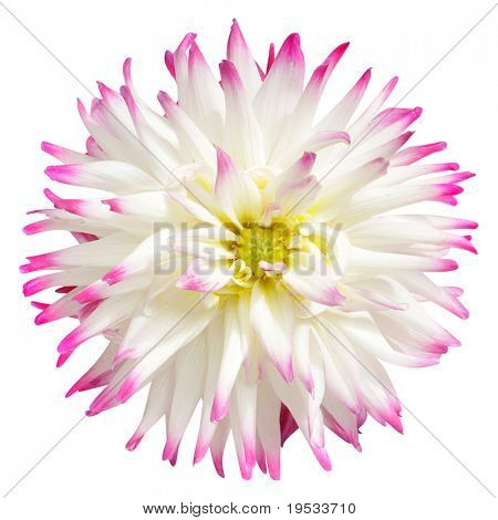 White dahlia isolated on a white background
