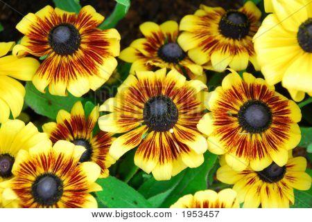 Flower Gaillardia  Grandiflora