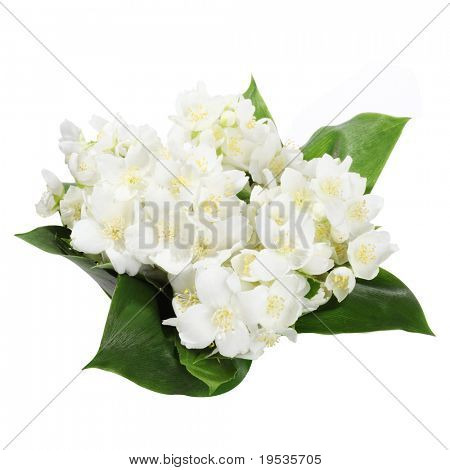 Fresh jasmine. Summer flower