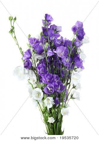 Blue and  white bell flowers isolated
