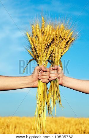 Human and woman hands holding bundle of the golden wheat ears on a blue sky background