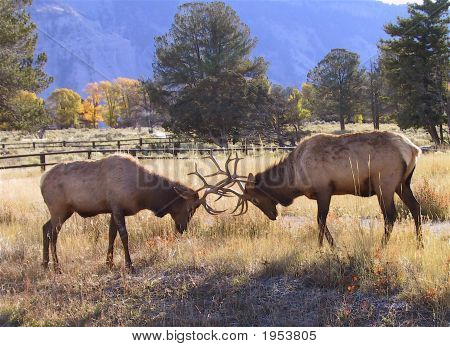 Battling Elk