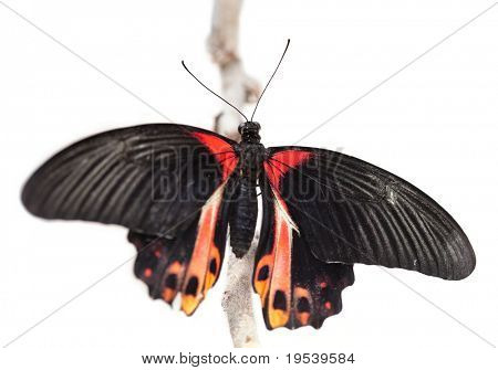 Papilio rumanzovia, Scarlet Mormon. The beautiful tropical butterfly sits on branch isolated on white.