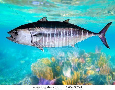 Thun Thunnus Thynnus Unterwasser Schwimmen im Meer zu Fischen