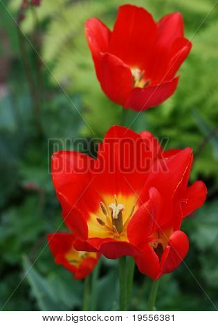 Beautiful red tulips close-up shot
