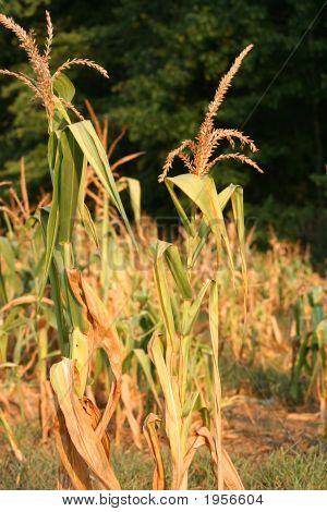 Dead Field Of Corn