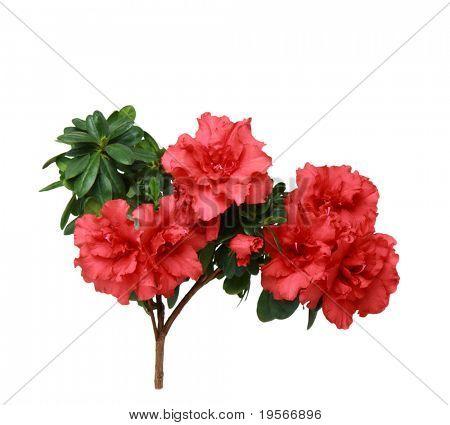 Azalea flowers isolated on a white background