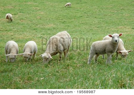 Spring lambs in Cornwall Park, Auckland, New Zealand