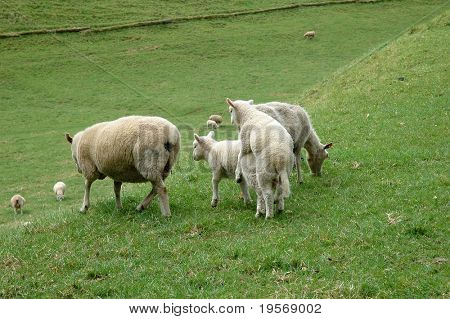 Spring lambs playing in Cornwall Park, Auckland, New Zealand