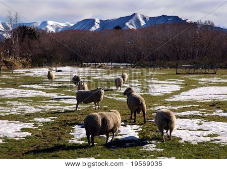Sheep grazing in the spring snow, Southern Alps, New Zealand