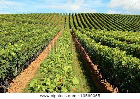 Beautiful lush, green vineyard rising into a perfect blue sky...