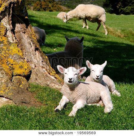 Cute spring lambs in the sun