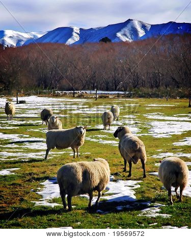 Sheep grazing in the snow on a sunny winter's day