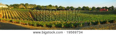 Italian vineyard landscape panoramic scene in the warm autumn, evening light