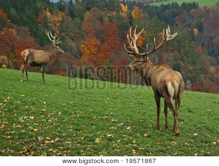 two majestic deer on autumn background