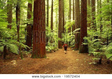 Tramper in redwood forest