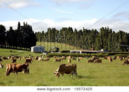Cow grazing in paddock