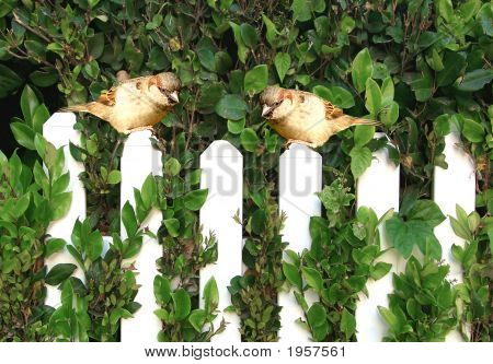 Pair Of Birds On A White Picket Fence