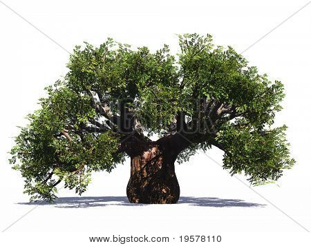 High resolution huge green baobab tree isolated on white in summer