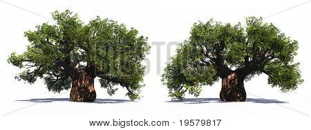 High resolution  huge baobab trees collection isolated on white background