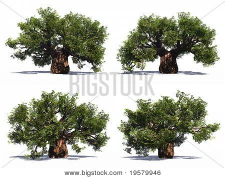 High resolution 3D green baobab trees collection or set isolated on white background, ideal for nature, season or conceptual designs