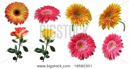 beautiful isolated pink, yellow and orange gerbera and rose flowers set or collection, isolated on white background, ideal for natural,health or season designs.