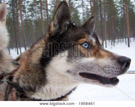 Husky Dog Finland