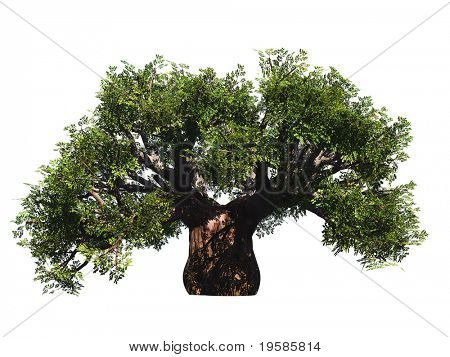 HIGH RESOLUTION green old baobab tree isolated on white in summer
