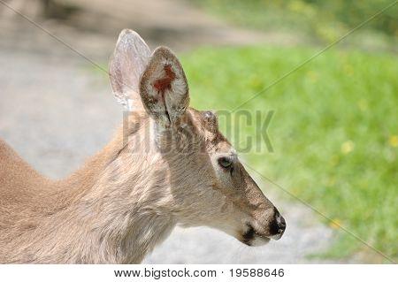 Whitetail Deer Button Buck