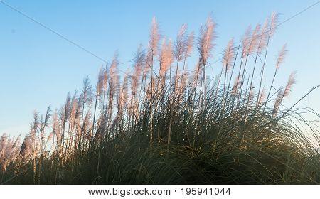 New Zealand native plant know as Toi Toi but real name is Austroderia splendens