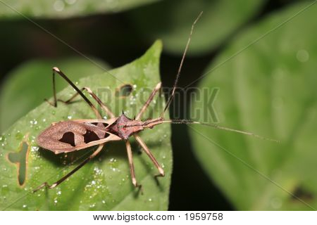 Tropical Assassin Bug