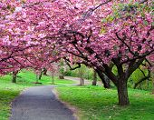 stock photo of cherry trees  - Cherry Blossom Path - JPG
