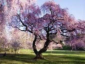 picture of cherry blossoms  - Cherry Blossom Forest - JPG