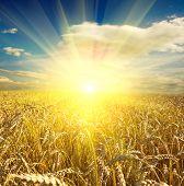 Постер, плакат: поле желтой пшеницы и облака в небе