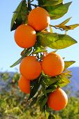 image of valencia-orange  - branch orange tree fruits green leaves in Valencia Spain - JPG