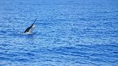 stock photo of cortez  - Striped Marlin being caught in the Sea of Cortez - JPG