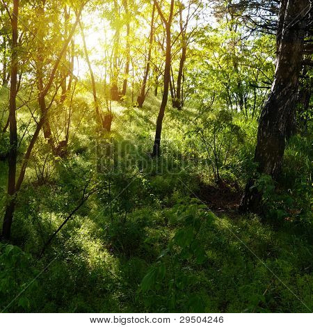 rayos de sol en el bosque viejo