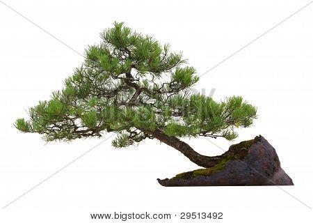 Árbol de los bonsais miniatura