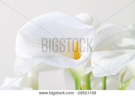 Bunch Of Cala Lilies In High Key
